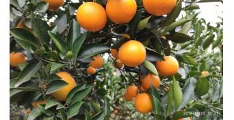 橙红化渣味道甜,科学施肥是关键