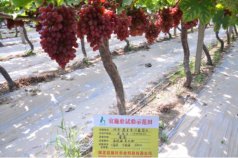 """高钙镁生物有机肥走进""""南方吐鲁番"""""""