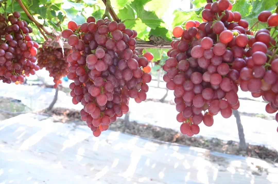 葡萄种植大户远道而来,你猜:为什么?